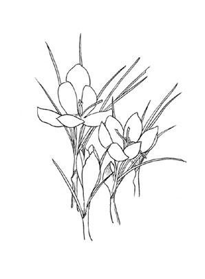 Ausmalbilder Krokus 1  Blumen Malvorlagen ausmalen