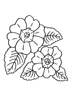 Ausmalbilder Primeln  Blumen Malvorlagen ausmalen