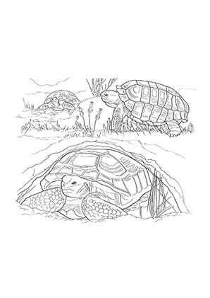 Ausmalbilder Schildkrten Am See Schildkrten Malvorlagen