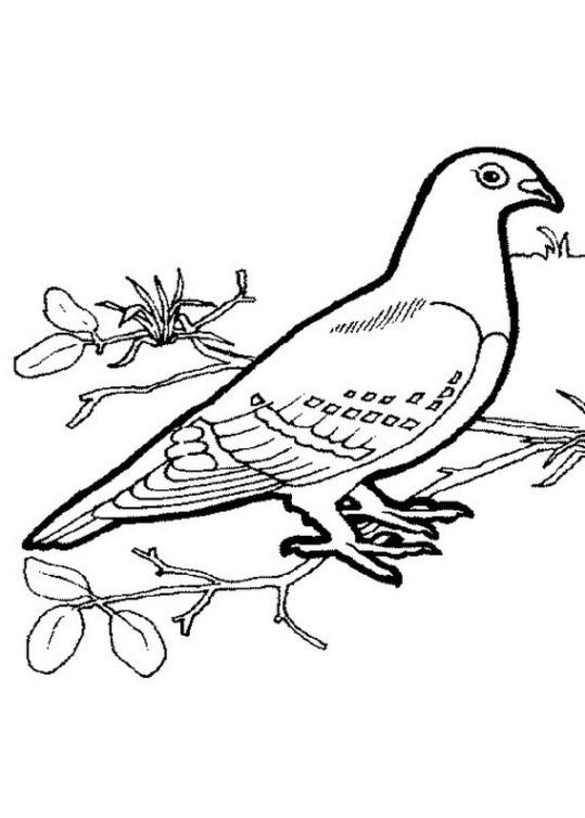 31 Taube Zum Ausmalen - Besten Bilder von ausmalbilder