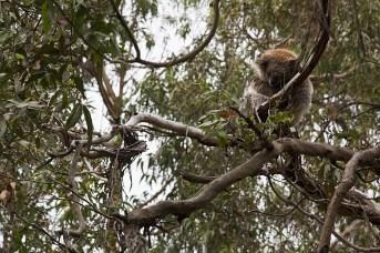 Koala hält Mittagsschlaf