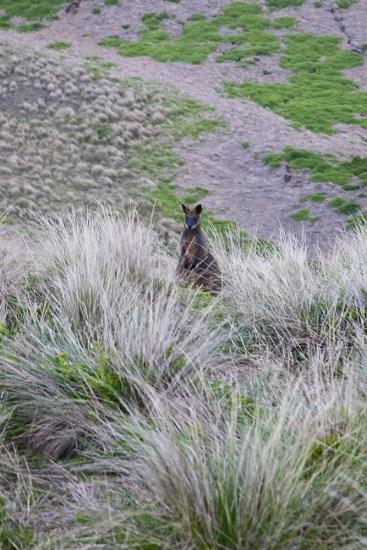 Känguruh in der Wiese