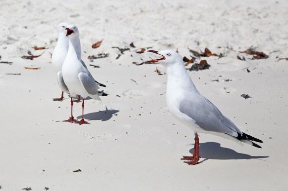 Möwen am Whitehaven Beach