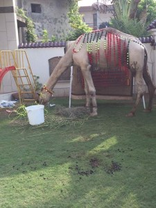 Our camel - not really ours, but at our house