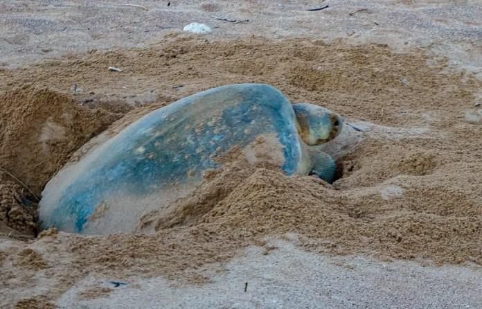 Nesting turtles