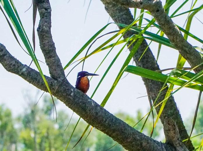 Azure Kingfisher at Corroboree Billabong