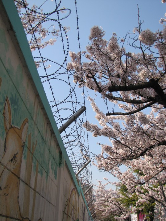 The contrast of cherry blossoms and barbed wire