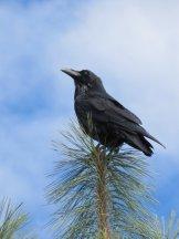 A crow atop a tree