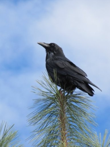 A crow atop a tree