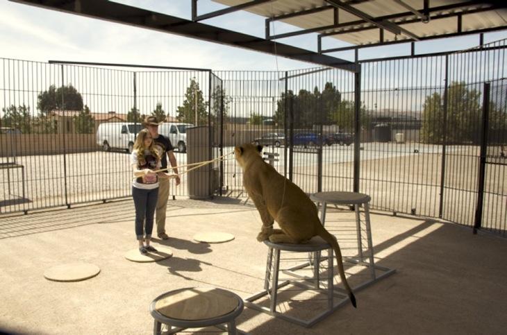 Training lions in Las Vegas