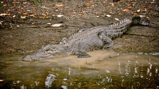 The saltwater crocodile is one of Australia's most feared and misunderstood creatures. Photo by Charles Strebor.