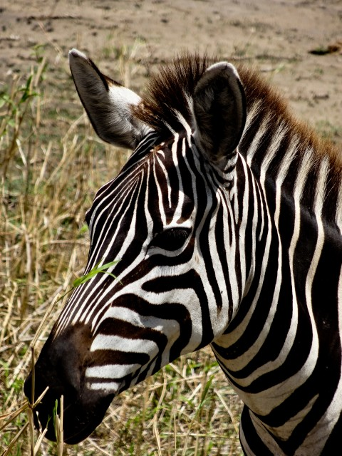 One of the countless zebra I snapped photos of while they ate by the roadside.