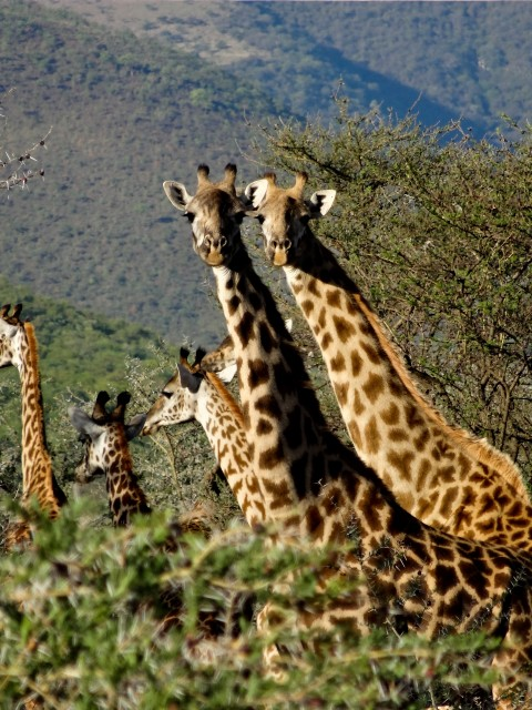 Inquisitive giraffes rubberneck at us as we drive back to civilisation.