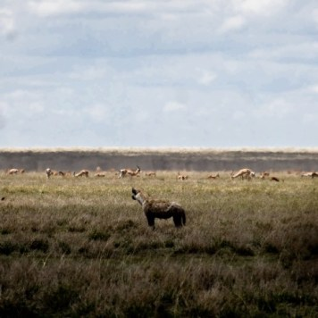 A lonely hyena is spoiled for choice by the impala surrounding him.
