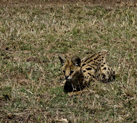 An adorable serval cat hunts insects in Ngorogro Crater.