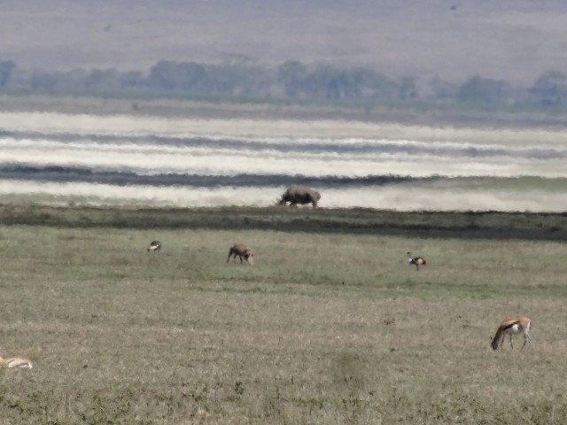 A rhino grazes in the distance in Ngorogoro. As close as we got, sadly.