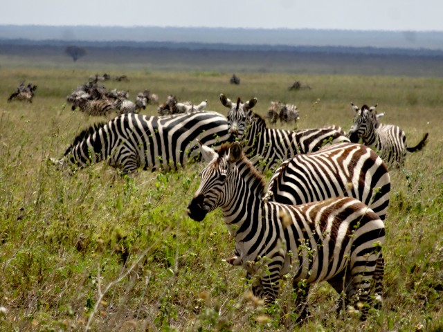 I'll confess, I got a bit 'meh' about zebras after seeing my 1000th...
