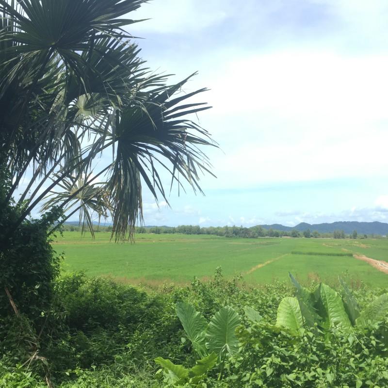 rice paddy koh yao noi