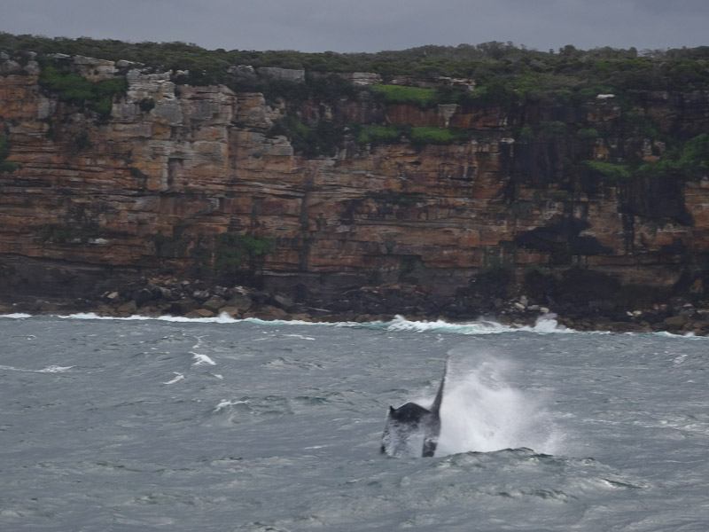 A humpback whale jumps out of rough waters.