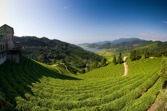 boseong tea fields korea