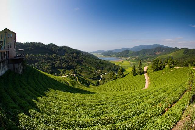 boseong tea fields korea