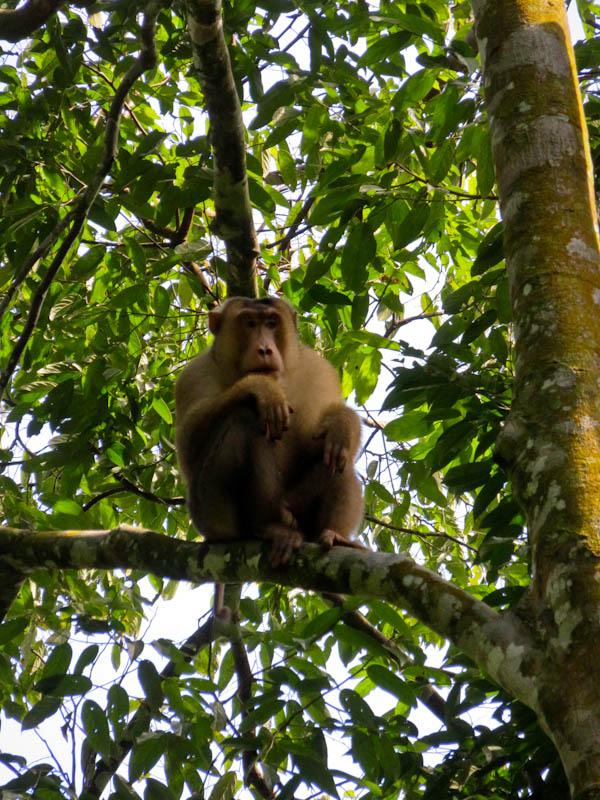 reesus monkey bukit lawang