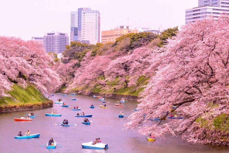 12 - Cherry Blossoms Japan
