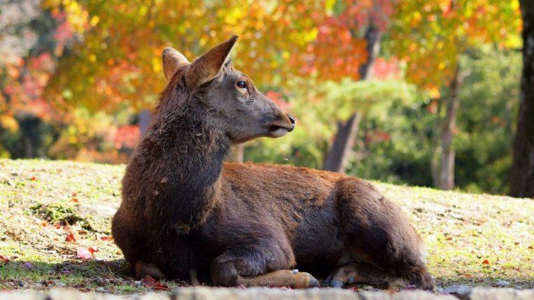 27 - Sika Deer Nara Park