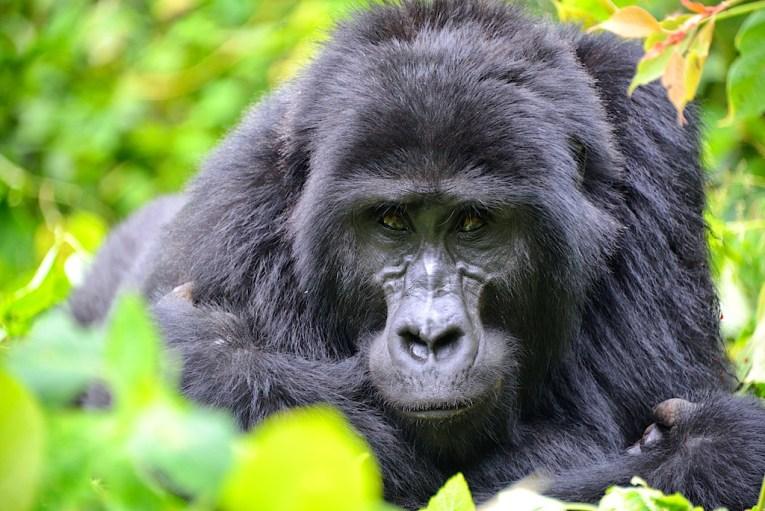 gorilla trekking uganda bwindi