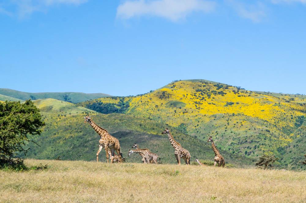 giraffe ngorongoro
