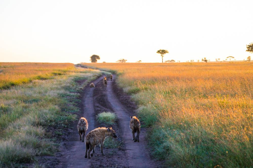 hyenas sunrise serengeti