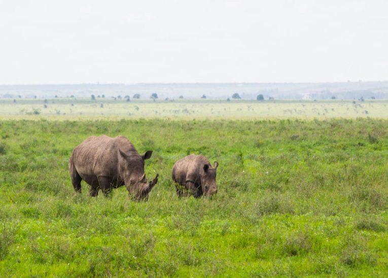 rhinos nairobi national park