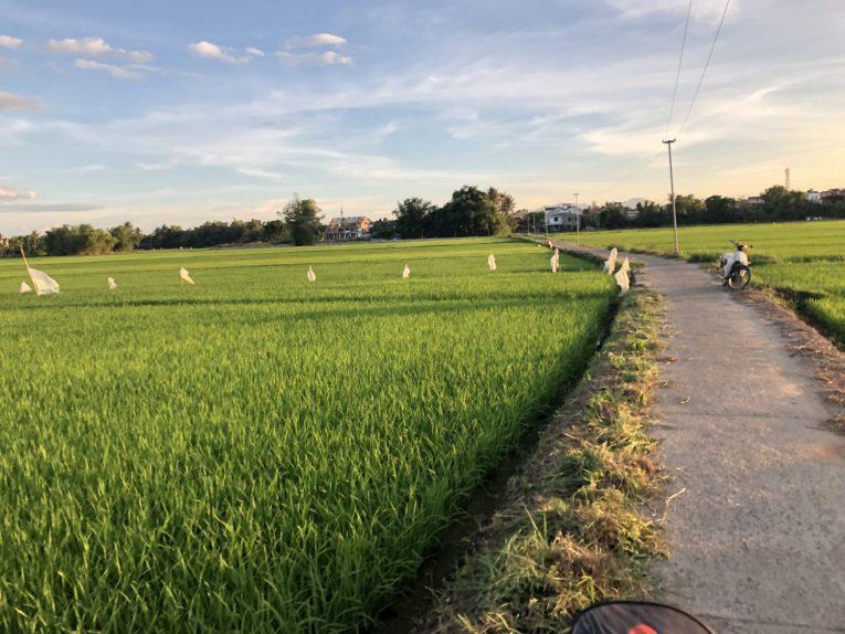 hoi an rice paddies