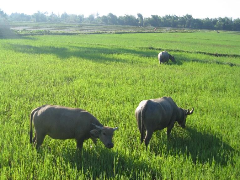 buffalo hoi an tra que vietnam