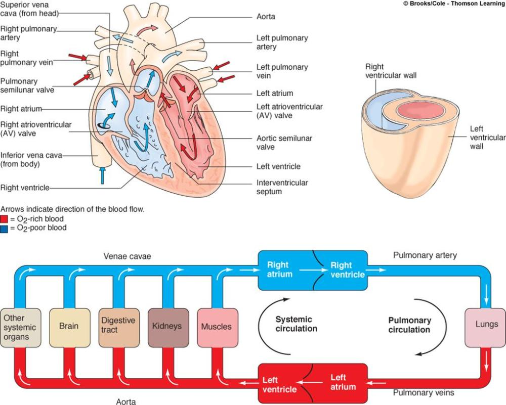 medium resolution of blood throught the heart blood coagulation pathway diagram blood pathway diagram