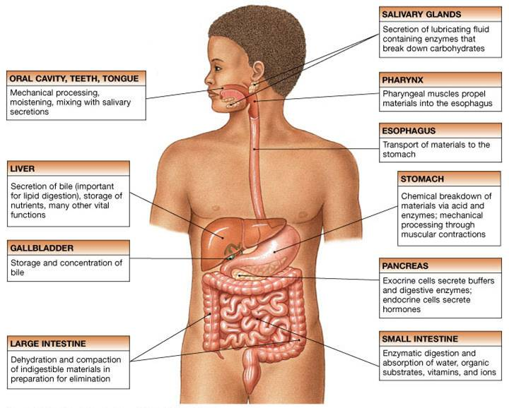 Image result for digestive tract