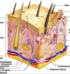 skin system diagram [ 1313 x 902 Pixel ]
