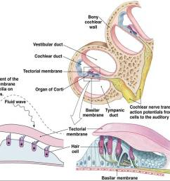 the vestibular membrane forms the ceiling of the cochlear duct and separates it from the scala vestibule the basilar membrane forms  [ 1150 x 863 Pixel ]