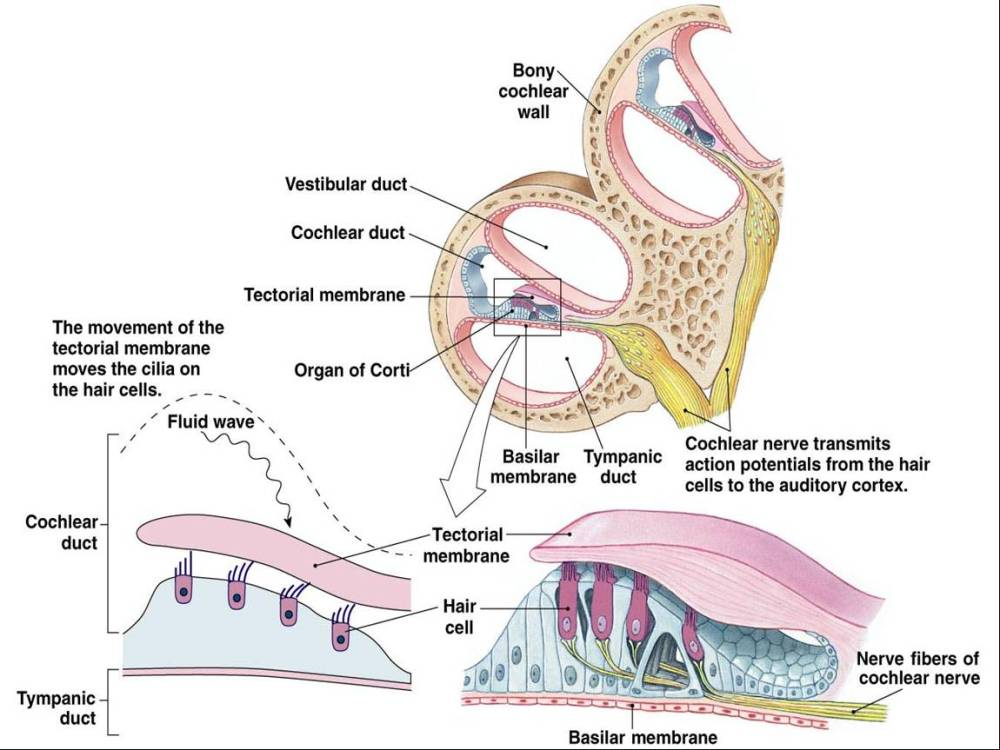 medium resolution of the vestibular membrane forms the ceiling of the cochlear duct and separates it from the scala vestibule the basilar membrane forms