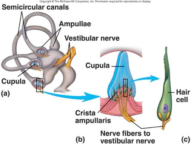 3.2.5. Equilibrium (Vestibulary sense) | Biolulia European ...