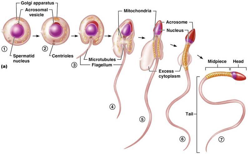 1.3男性不孕癥的身體檢查 - 男性不孕-怎麼助孕。幫助懷孕