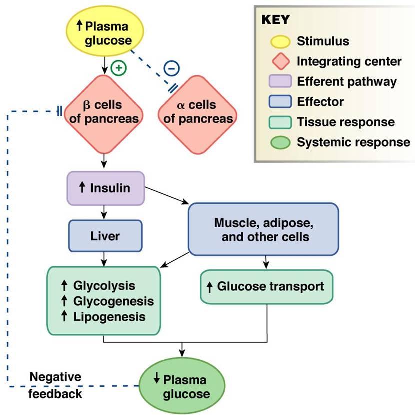 Thyroid Homeostasis Diagram