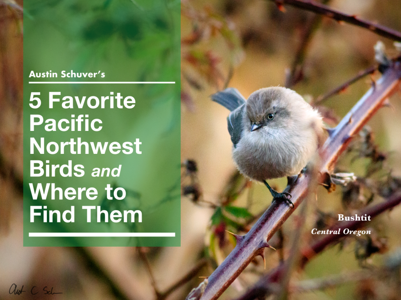 Austin Schuver pacific northwest bird guide