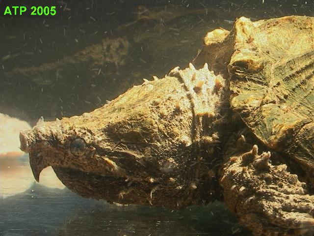 Guiness World Record Biggest Alligator Snapping Turtle