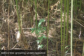 In Defense of Giant Ragweed | AustinTexas.gov