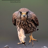 A Kestrel Running BirdGuides Winner 2014