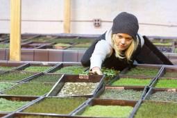 green goodies: Farm supervisor Maureen Maitland works with micro greens at Urban Till in Chicago. David Pierini/staff photographer