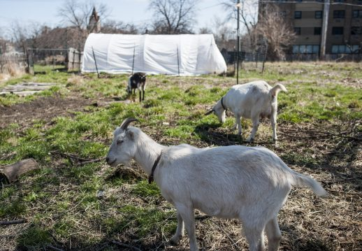 A small herd of goats roam the grounds of the urban farm Root-Riot Harambee at 500 N. Waller in Austin. | William Camargo/Staff