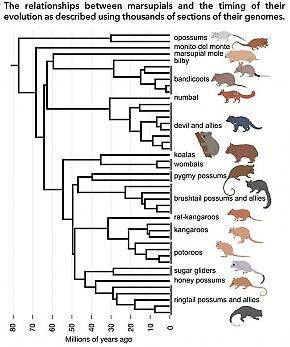 What Do Genomes Have To Say About Marsupial History