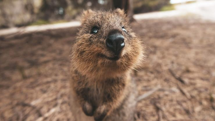 Image result for quokka